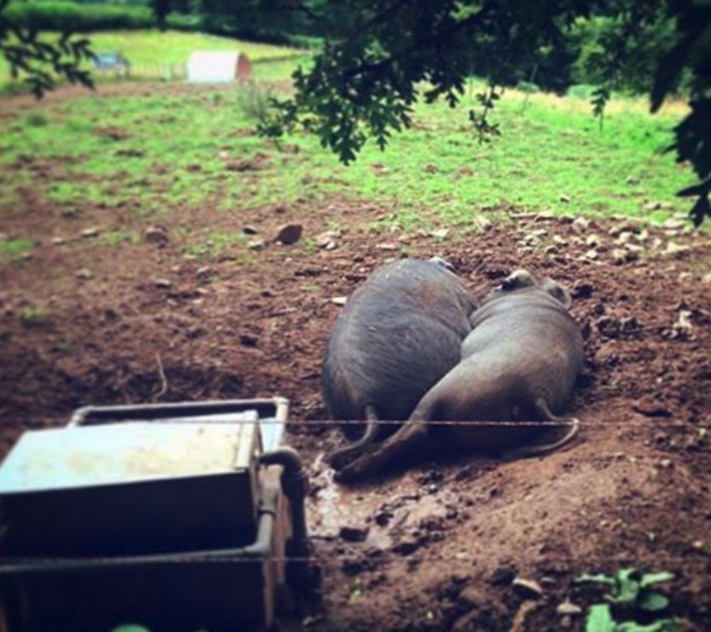Chris and Adele (so named for her powerful vocals), our prime boar and sow, taking an afternoon nap under a tree