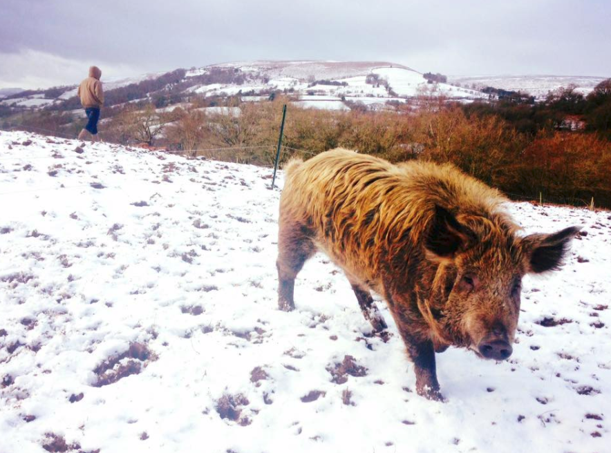 Our Mangatam boar, well equipped for the snow with is thick coat and Pat Sharp hair-do