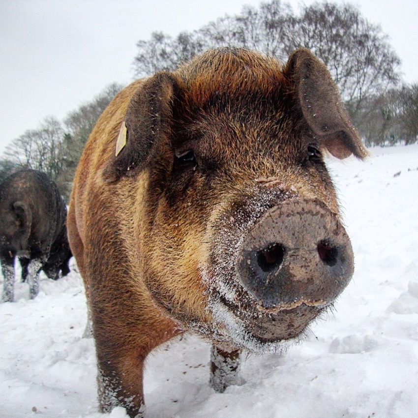 Our Durocs are a very cool pig