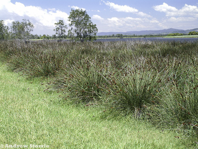 Spiny rush along the edge of the Hunter River, NSW.