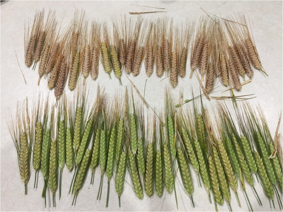Top row of barley at 27% -the correct time for glyphosate while the bottom row are 34%, which is too early. Image: Craig Brown