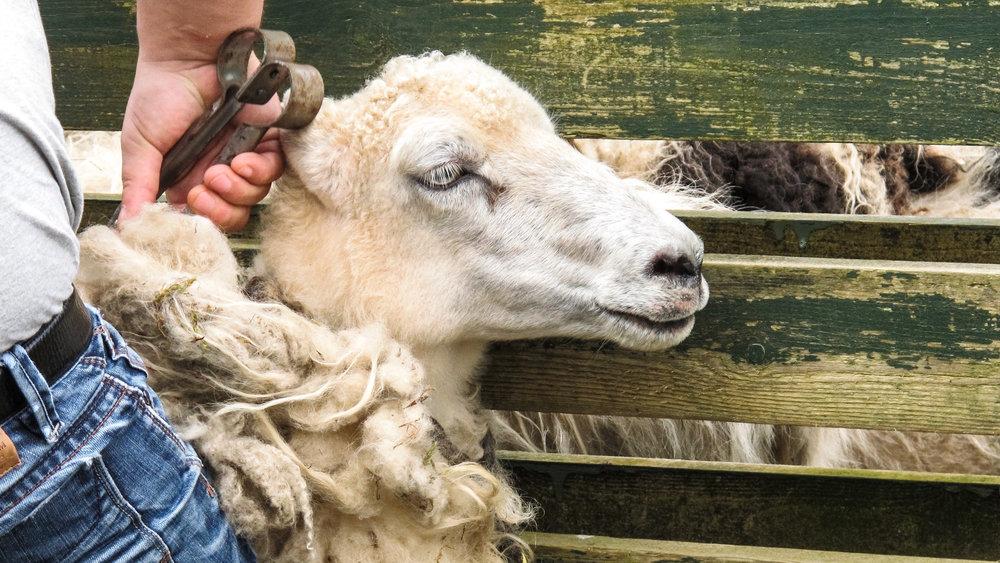 Sheep Clipping  © My Faroe Islands, Anja Mazuhn  (1 von 1).jpg