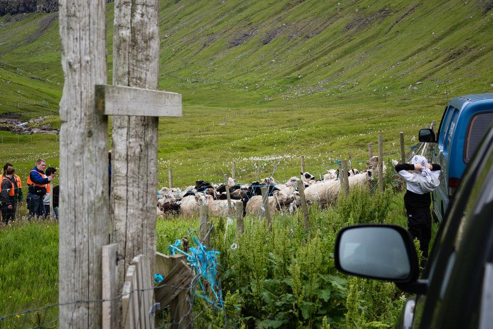 Scheep English © My Faroe Islands, Anja Mazuhn  (1 von 1).jpg