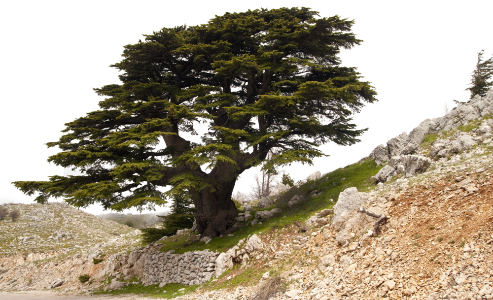 PAID stock photo lebanese tree no background.png