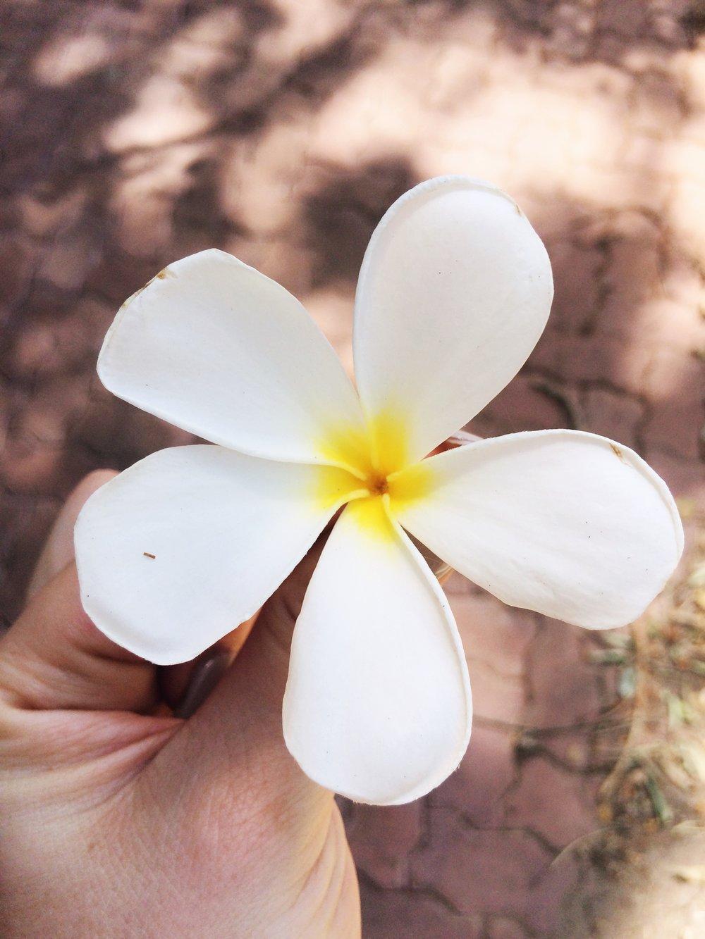 Temppelipuun (gardenian)kukka Sri Lankassa viime kesänä :)