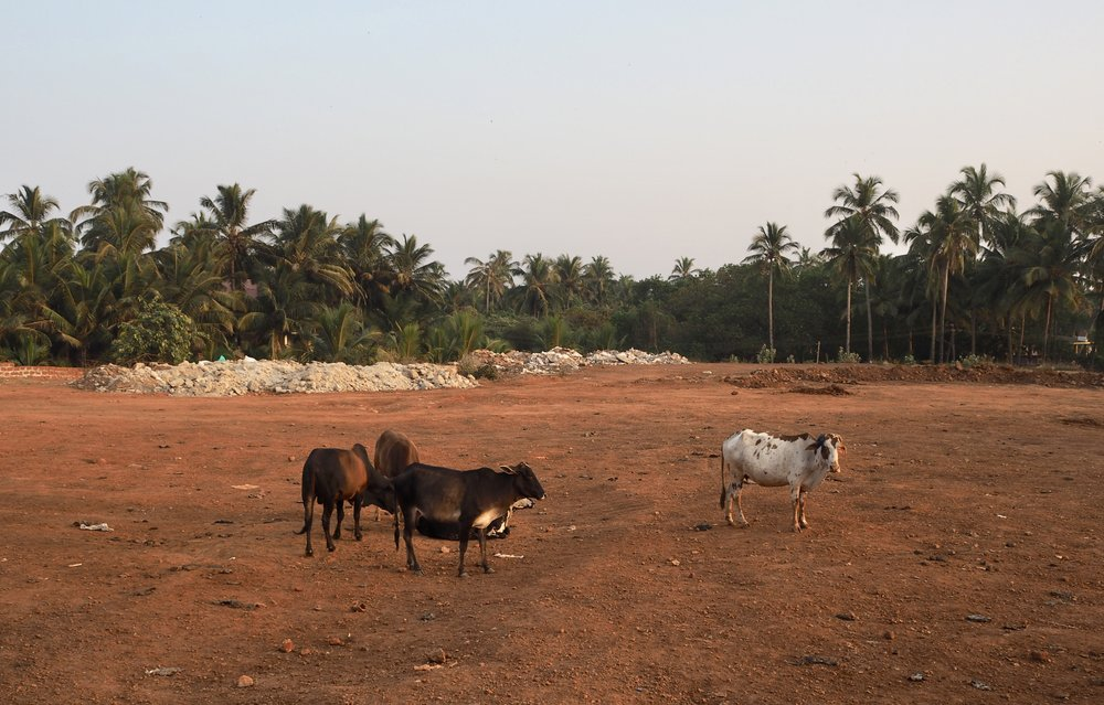 Lehmiä auringonlaskun aikaan