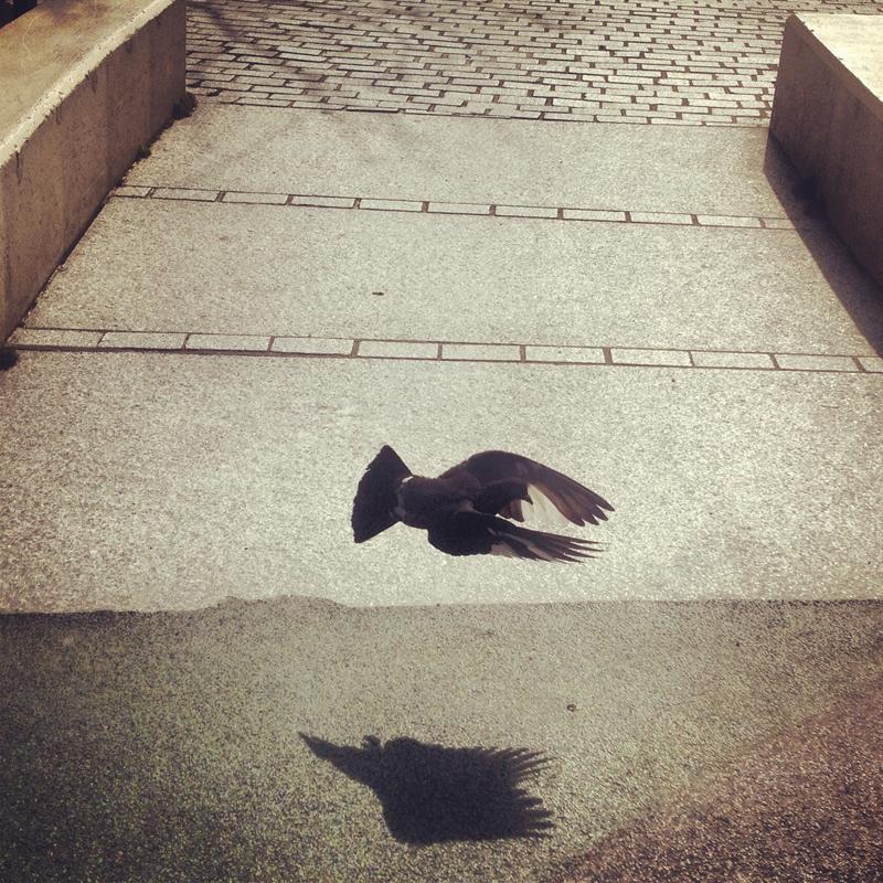pigeonSZ.JPG