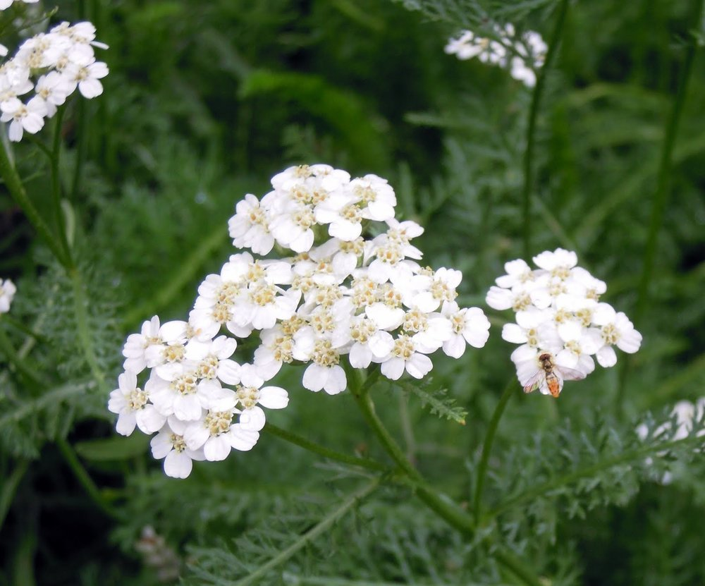 Yarrow with tiny bee.JPG