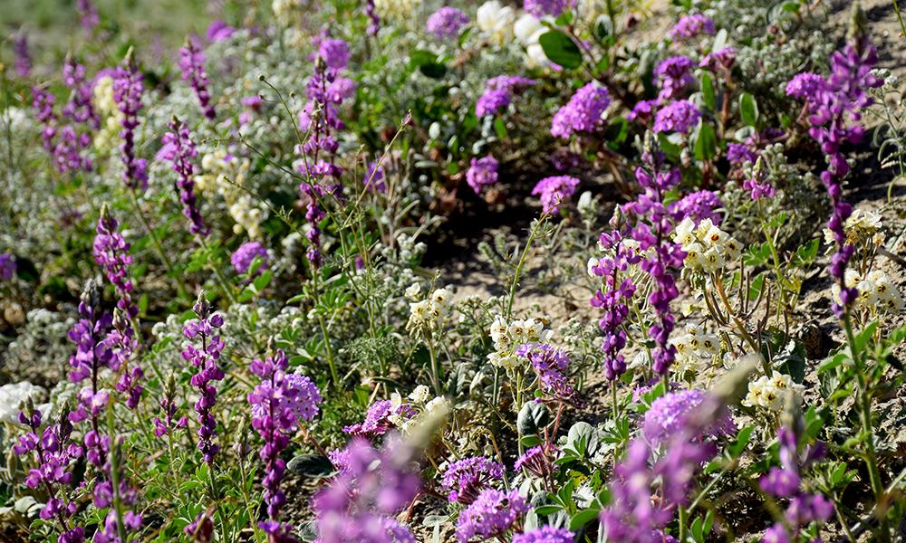 Arizona lupine,  Lupinus arizonicus  - Sand Verbena,  Abronia villosa  - Dune Evening Primrose,  Oenothera deltoides