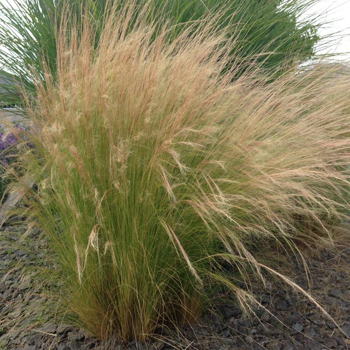 mexican-feather-grass-planted.jpg