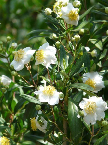Carpenteria_californica-2.jpg