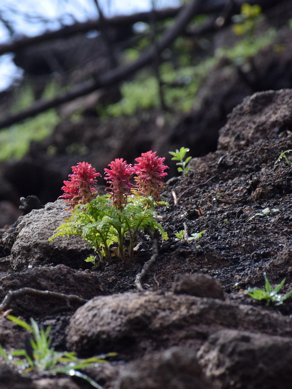 sodacanyon_Pedicularis_densiflora.jpg
