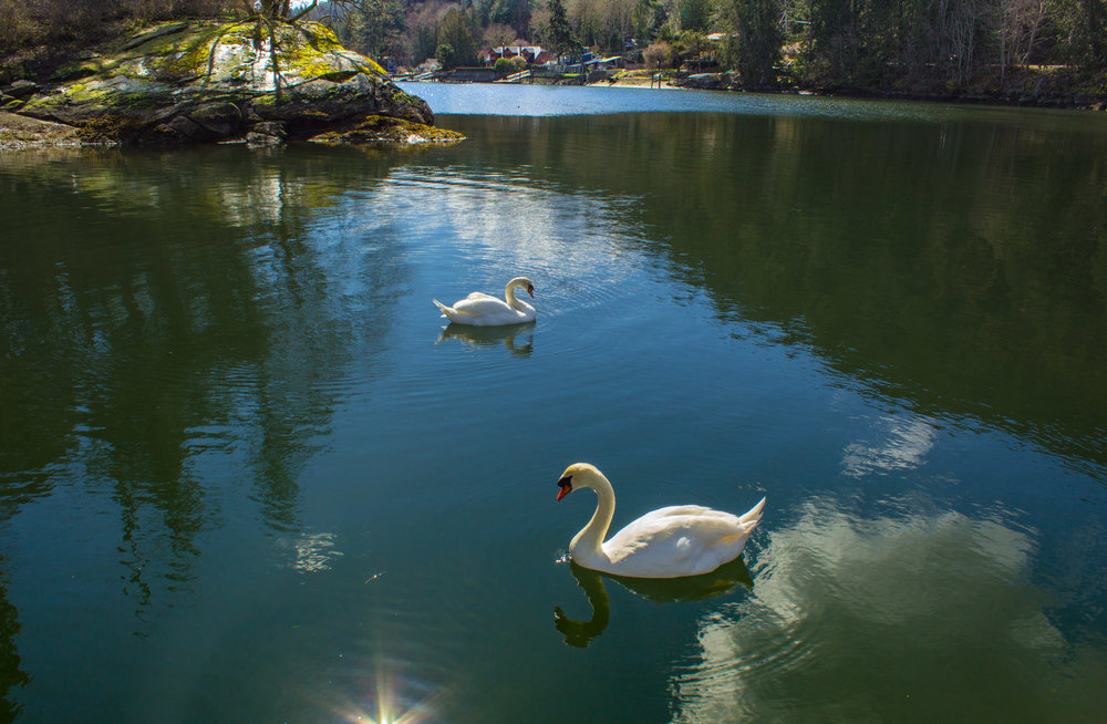 Swans at the Shipyard Restaurant & Pub     Copyright © Afro Boy Productions. All rights reserved.
