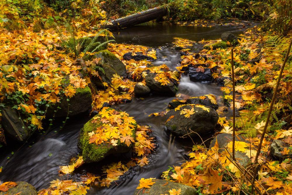 Beautiful fall leaves in Bowen Park, Nanaimo