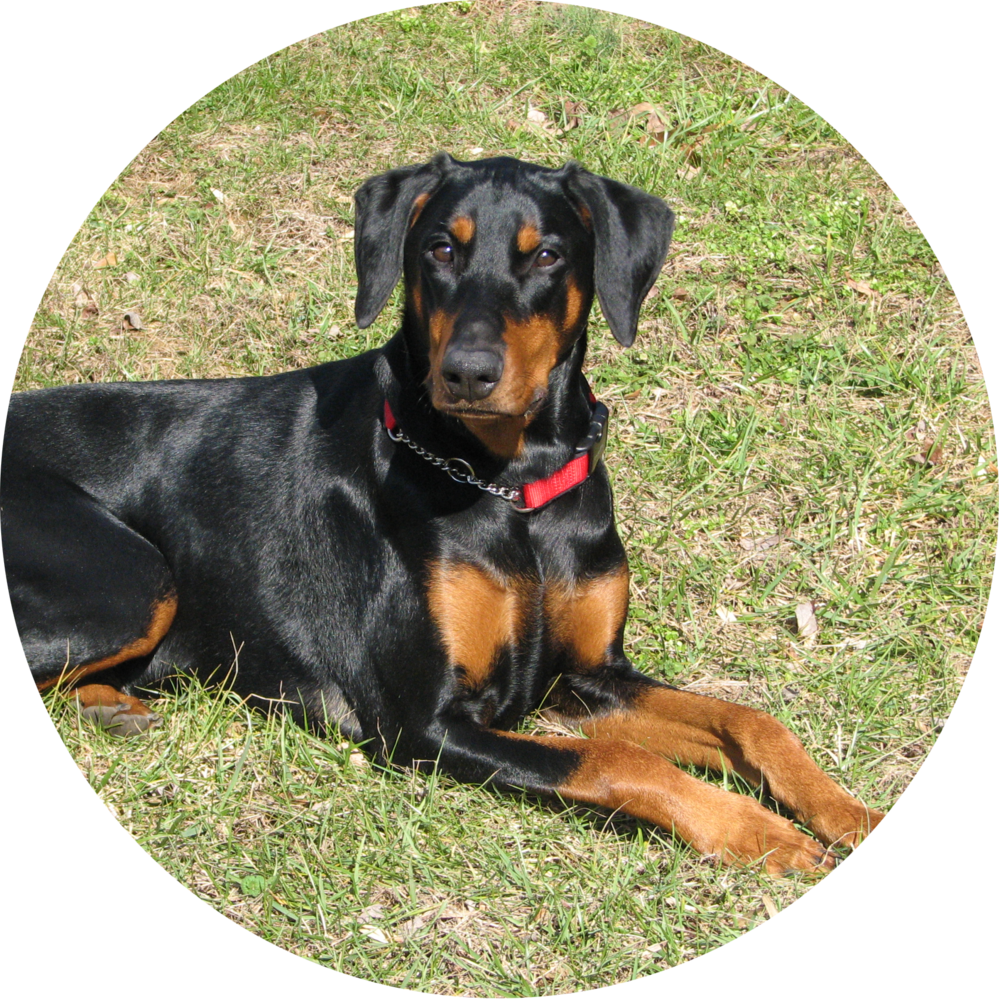 Fred and Donna Doberman Rottweiler dog training and behavior in Maryland.
