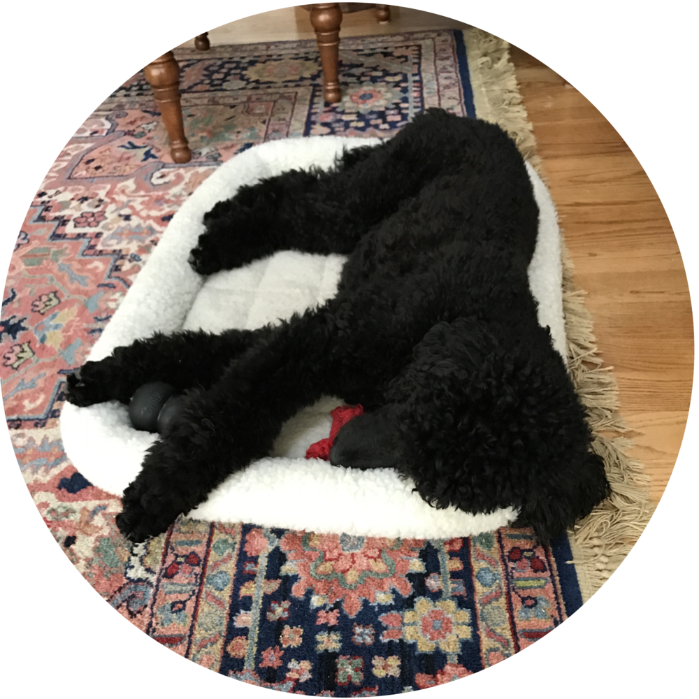 Luke, Clare, and Don poodle puppy training and behavior modification in Maryland.