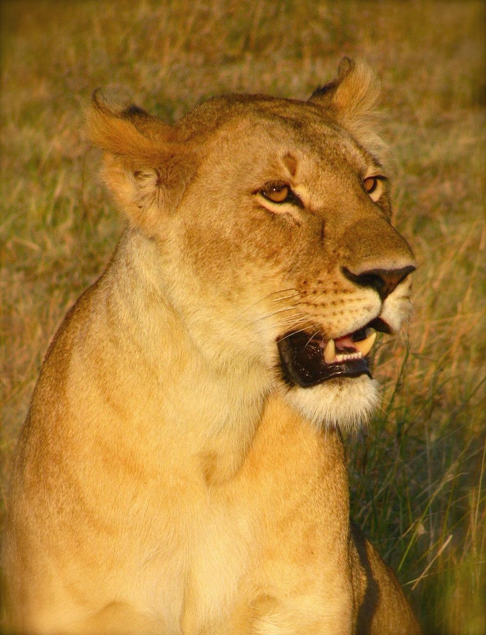 300 dpi Female Lioness.jpg