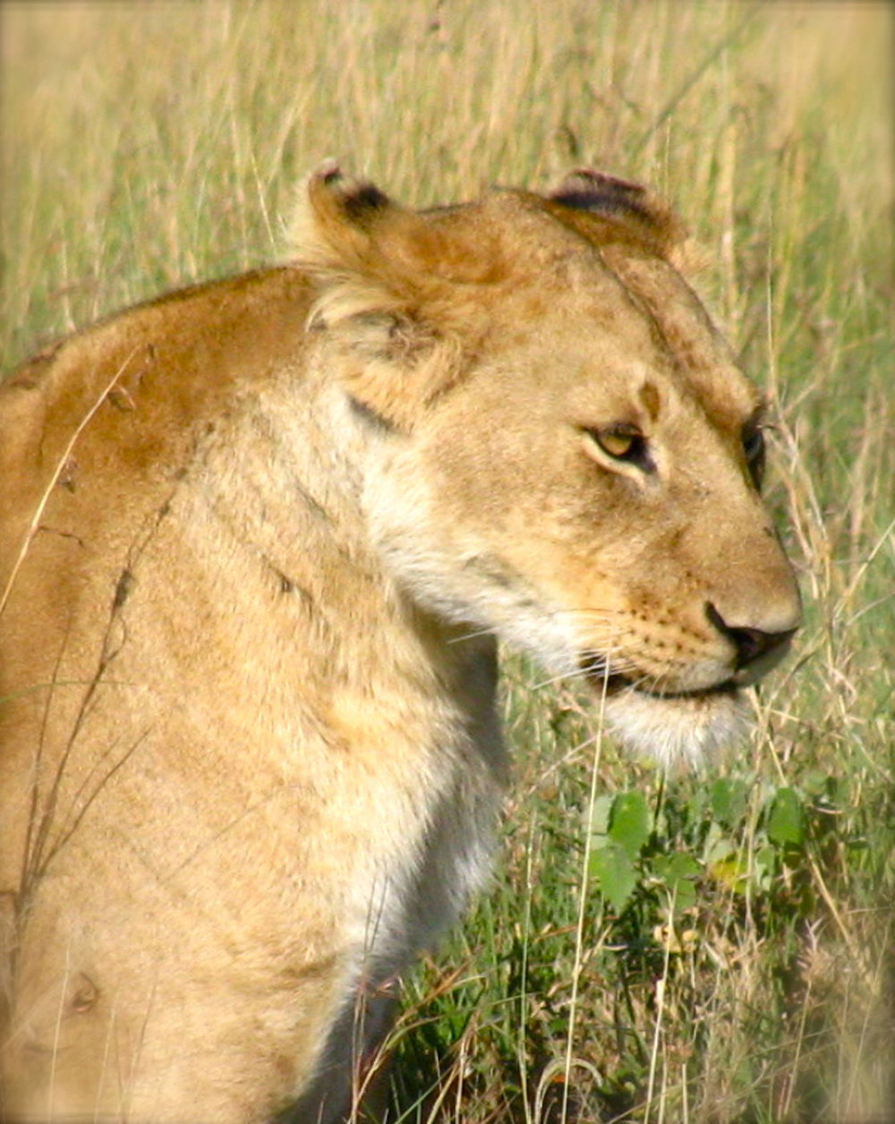 Female Lion.jpg