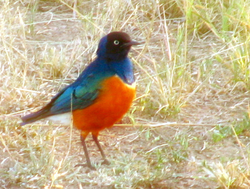 Superb Starling.jpg