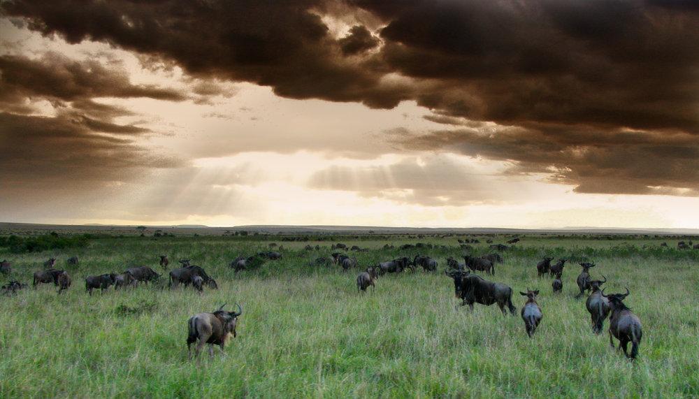 Wildebeest across Masai Mara.jpg