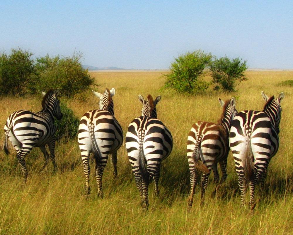Zebras going 8x10.jpg
