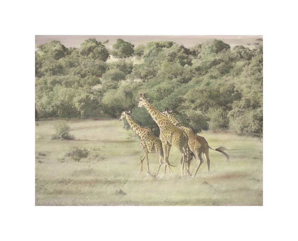 Giraffes Running  is another hand-painted Black & White image available in various sizes
