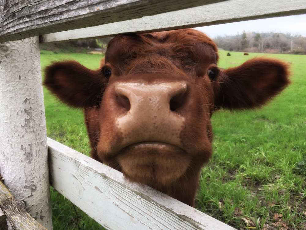 One of my goals for 2018 is to spend more time outside...moo-ing at cows, neigh-ing at horses and calling all sorts of birds. I want to breathe more deeply, stretch more often and enjoy every beautiful gift I come across. Thus, my new friend! This property is next door to my dear chiropractors in Newcastle, so one day while I was up for a session I took a walk to this fence and started mooing! The cows were on the far side of the pasture but one by one they came over for a closer look. This one and I did some special bonding! At the moment this is a digital photograph. I suspect it will find itself in another medium one of these days but for now, please meet my new friend!