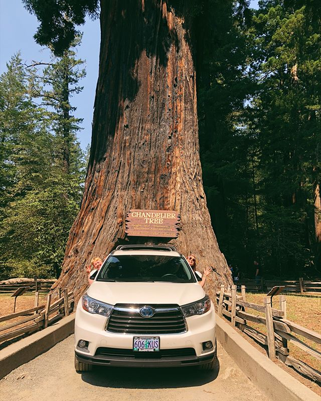 Amber & Fish see big ass trees! 🌲 I spent 1/2 my childhood in the redwoods and drove the 101 countless times moving between both my parents houses in Northern & Southern California yet NEVER DROVE THRU A TREE until today. My parents never wanted to stop but NOT TODAY. It took forever to not go very far doing all these touristy things but #worthit 💫🌲💫🌲💫