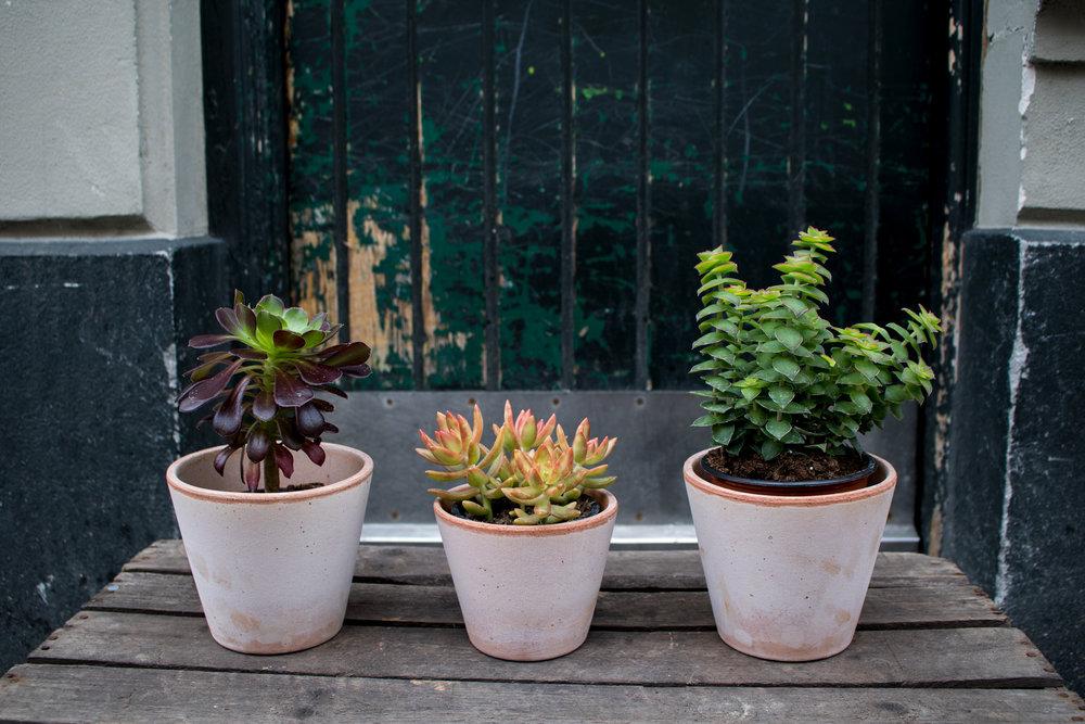 Sukkulent & Kaktus    Kaktussen har små pigge, som nemt kan sætte sig fast i fingre, men så længe man kan holde fingrene væk.