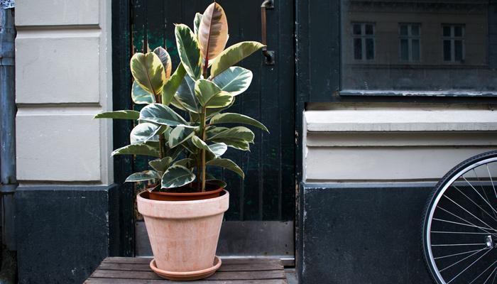 Gummitræ    Træet kommer fra Indien og er én af de mest populære Ficus-arter.