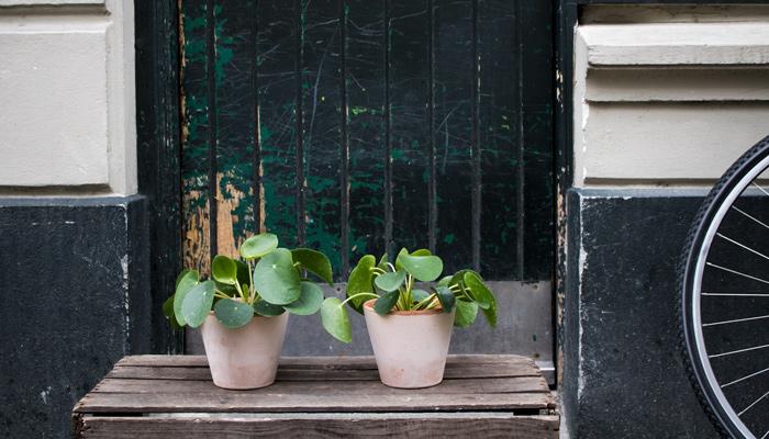 Pileaen    Pileaen er også kendt under navnet 'Pengeplanten' eller 'Chinese Money Plant'.