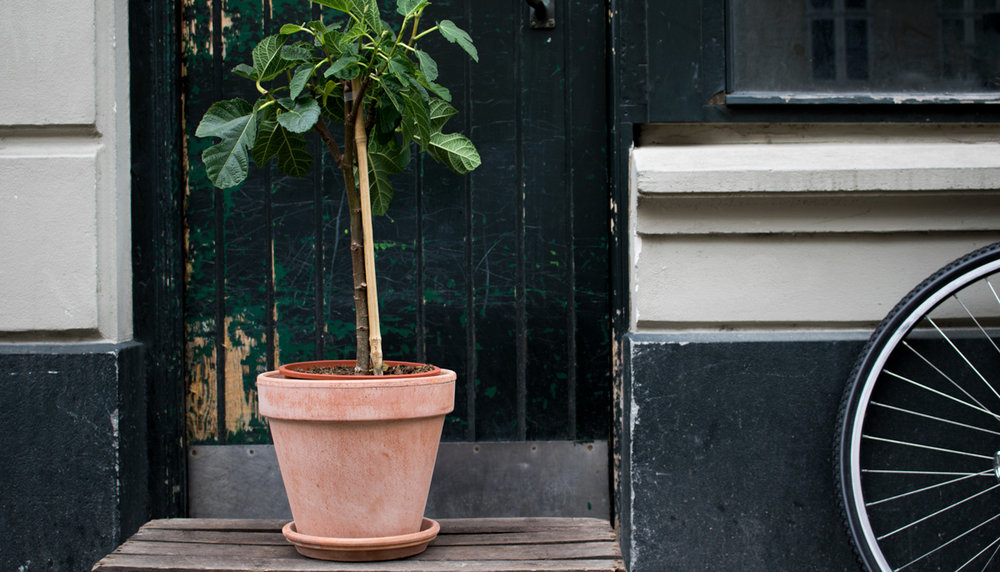 Figentræ    Som navnet angiver, kommer figenfrugterne fra dette smukke træ.