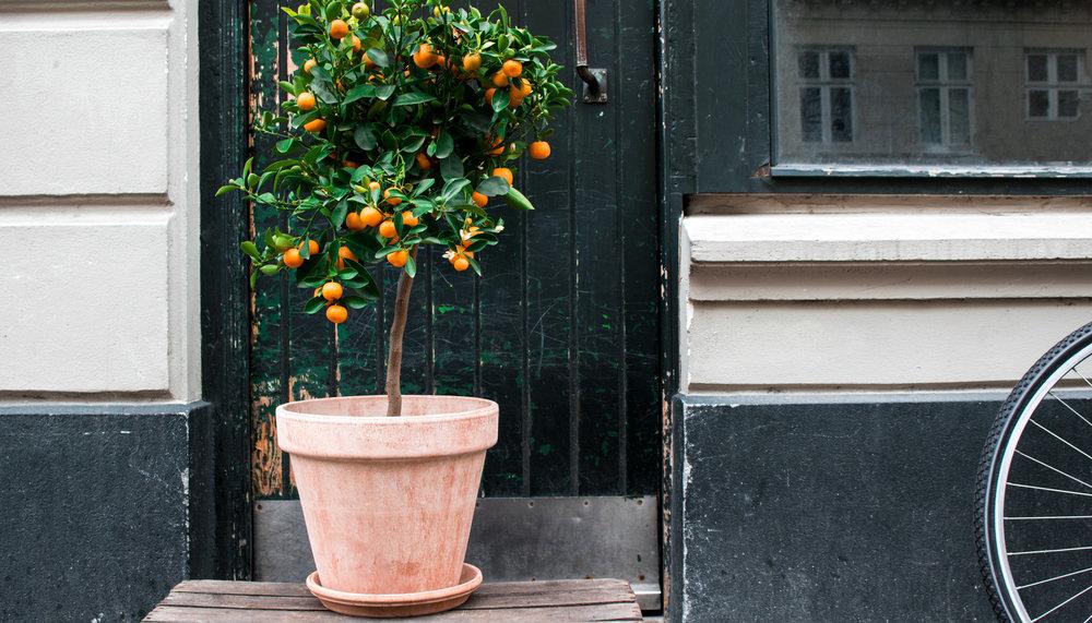 Citrustræer    Med citrustræer i haven får du ikke blot en vidunderlig stemning af sydens sol og sommer, men også en lækker smagfuld oplevelse.