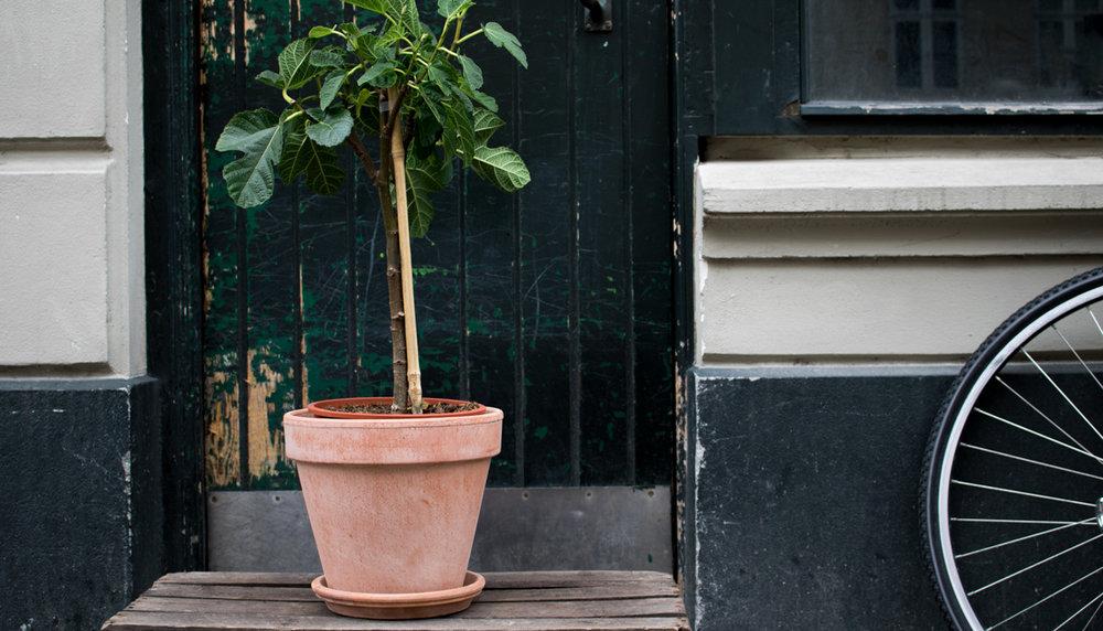 figen-tree