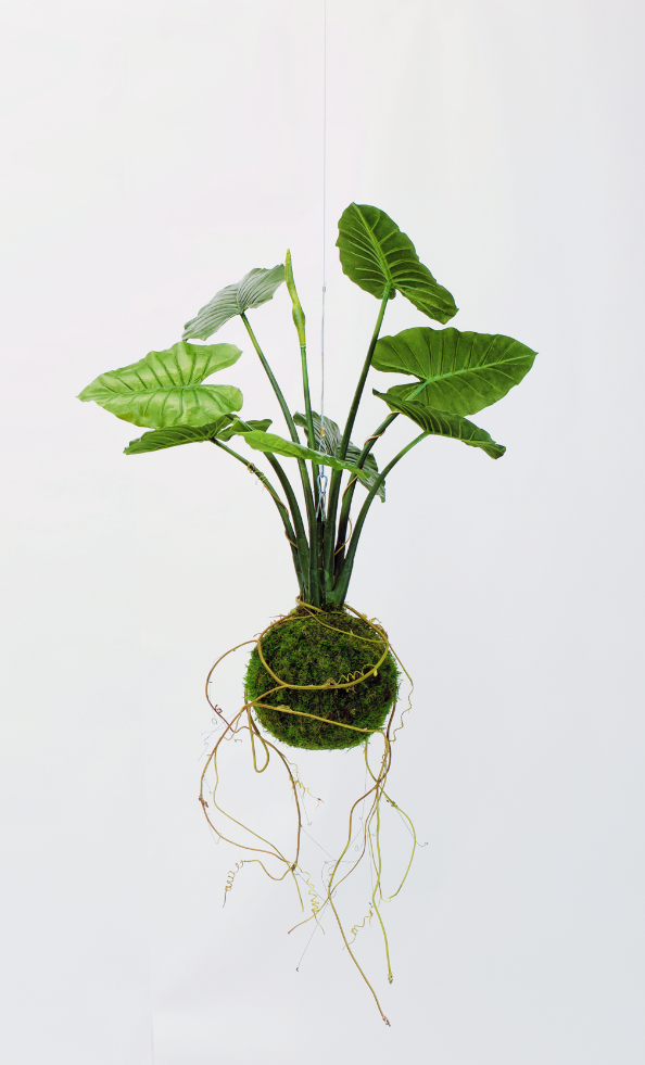 King Kokedama  Product