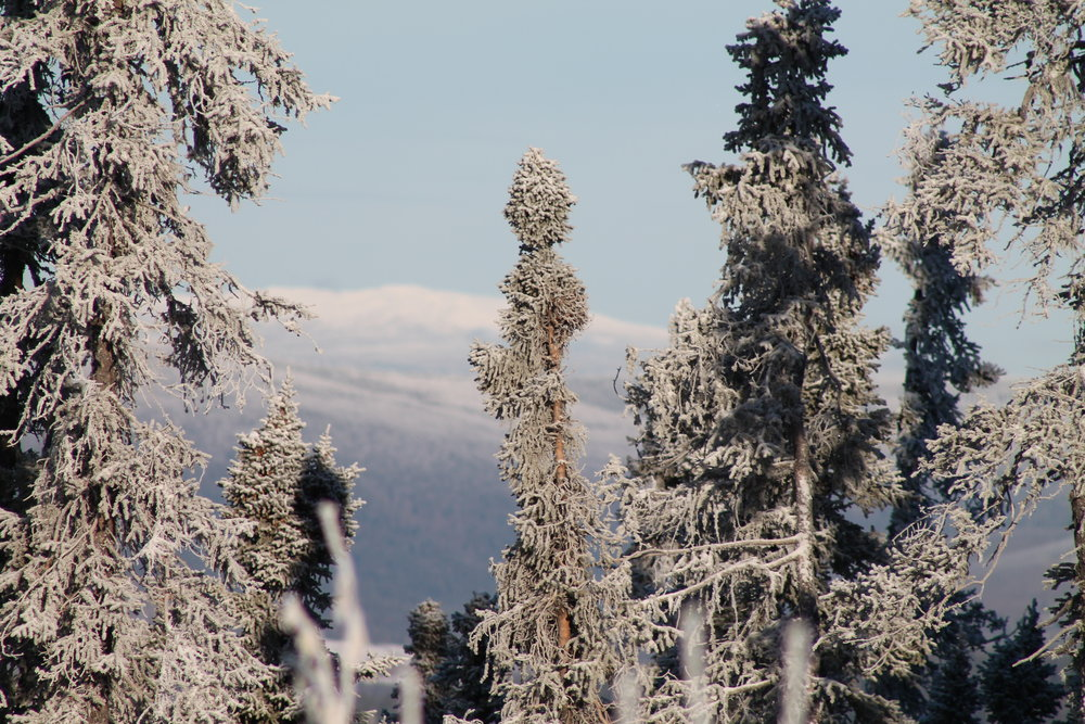 winter trees in Alaska