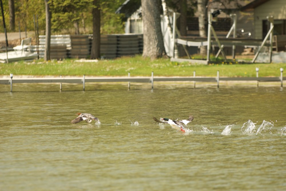 merganser pair flying