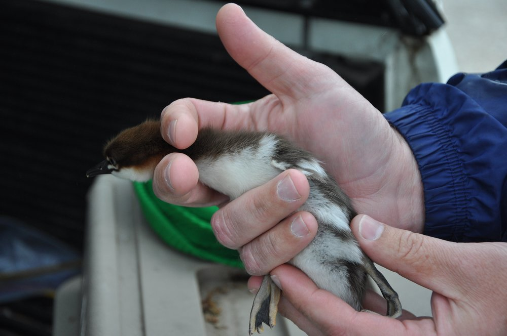 Merganser chick