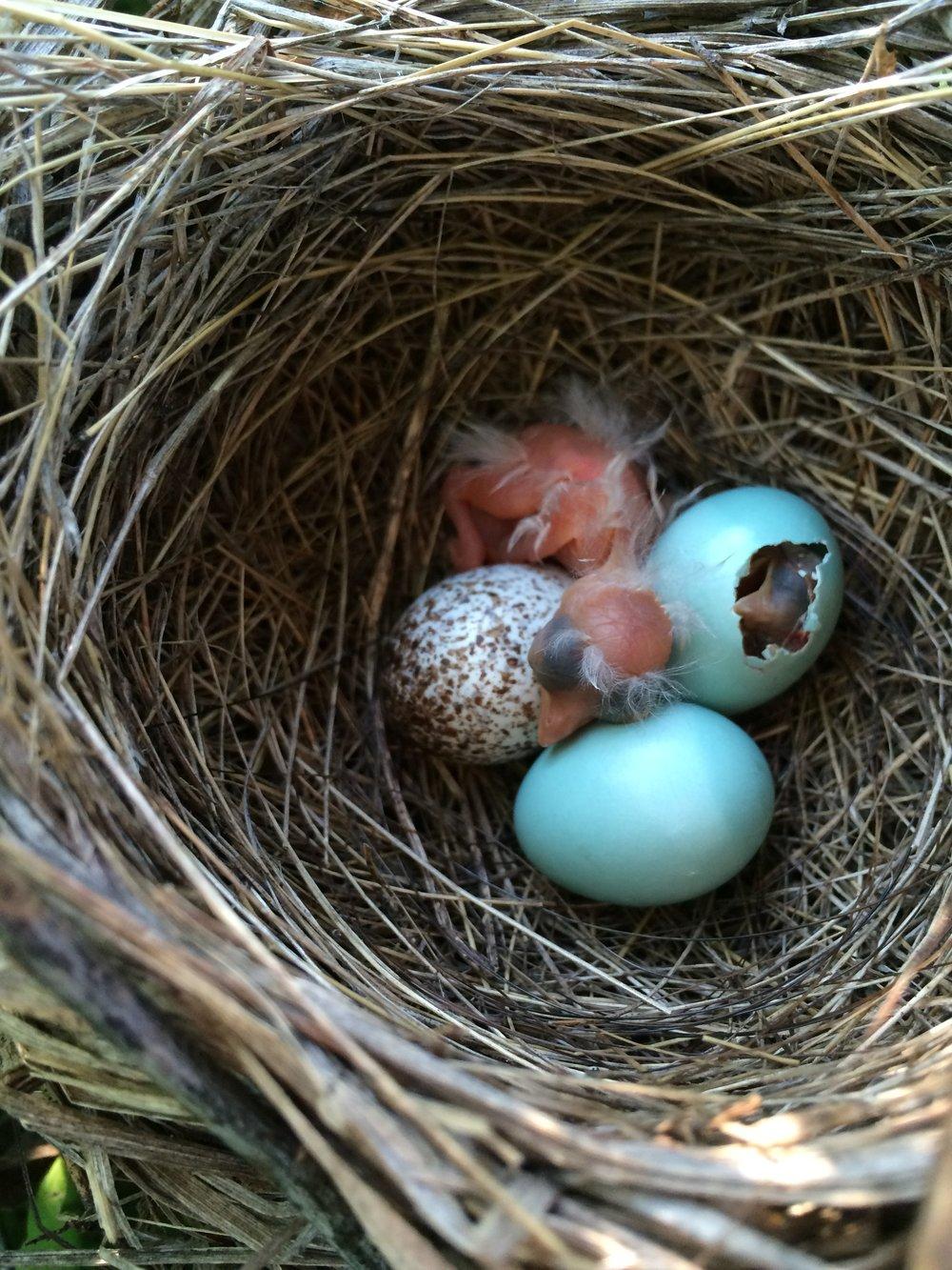 JJC_DICK Nest2 Day1_2015.JPG