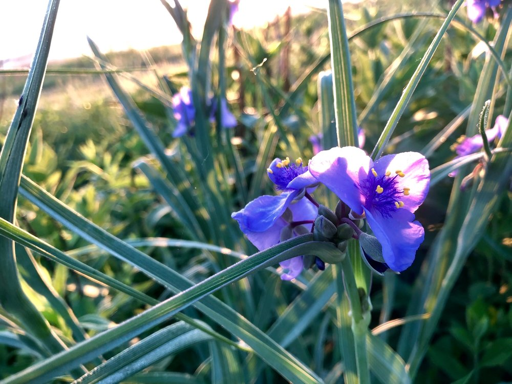 JJC_ohio spiderwort