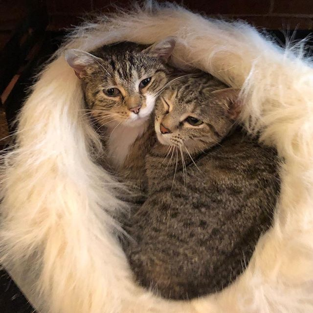 Sweat Pea and Pookie. Take them both and the bed is yours!!!! 🛏🛏🛏🛏🛏😻😺🛏🛏🛏🛏 #riverkittycatcafe #downtownevansville #pookieandsweatpea #thebedgoeswiththem @vhslifesaver