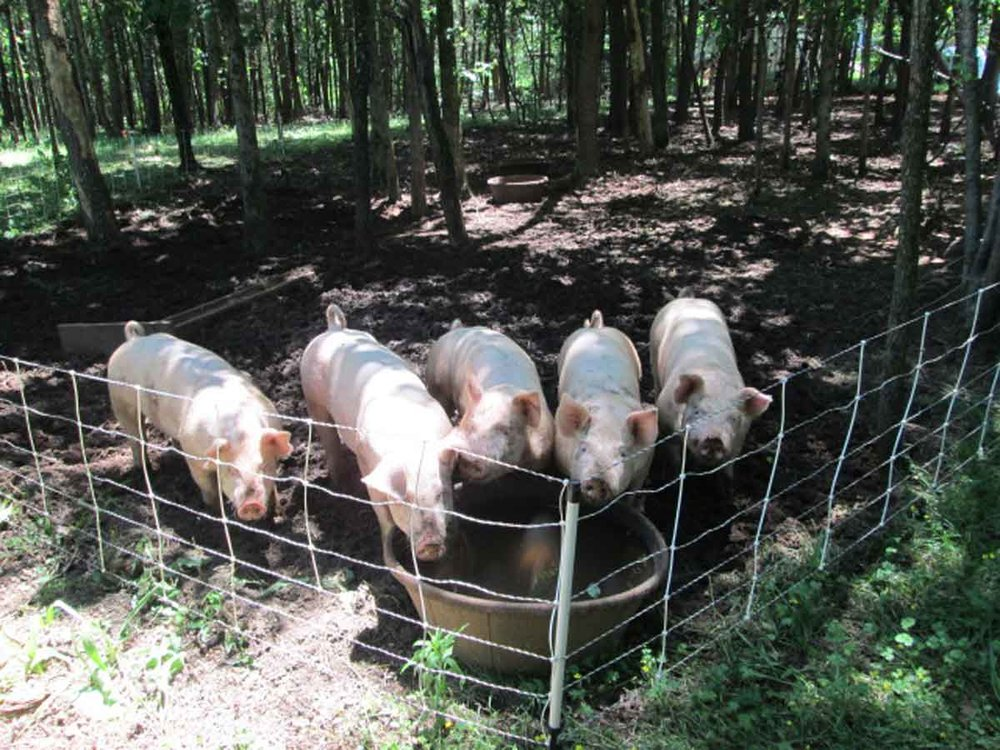 PigsInForest