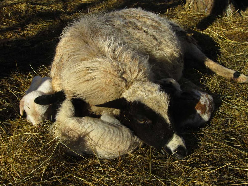Mari-resting-with-lambs.jpg