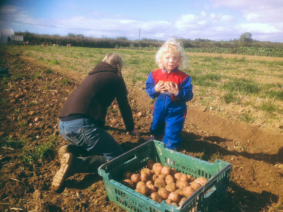 Busy harvest for workers and helpers at the CSA Cae Tan on the ELC's site in Gower, Wales.