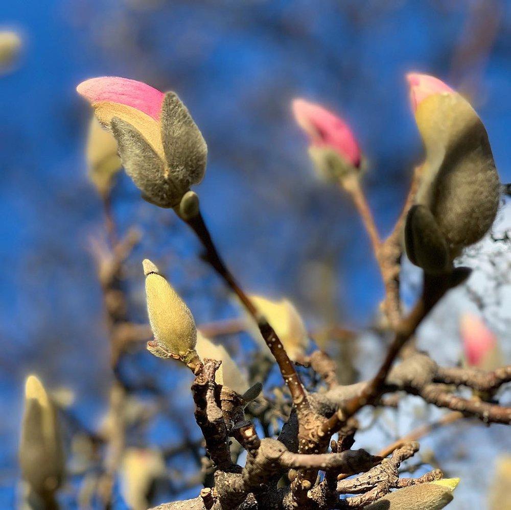 Magnolia tree about to burst!
