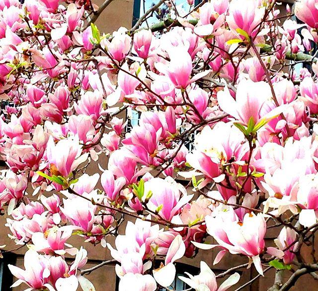 """I must have flowers, always, always"". Monet Magnolias for you my darlings! definitely one of my very favorite flowers besides peonies 🌸🌸🌸 What is your favorite flower?"
