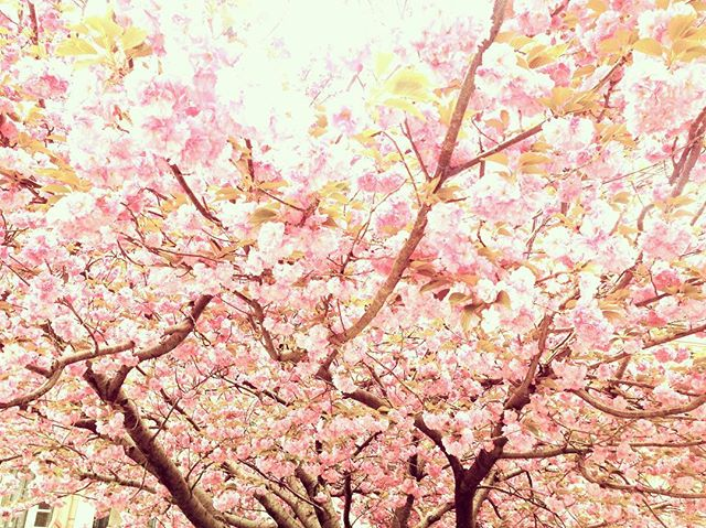 //May the spring blooms and their beauty be the inspiration for your day/ #cherryblossom 🌸🌸🌸