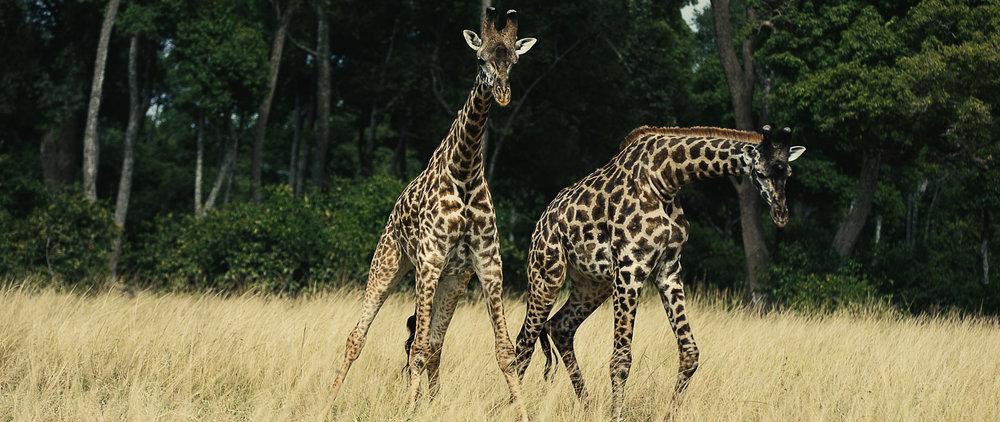 giraffe_justinography.jpg