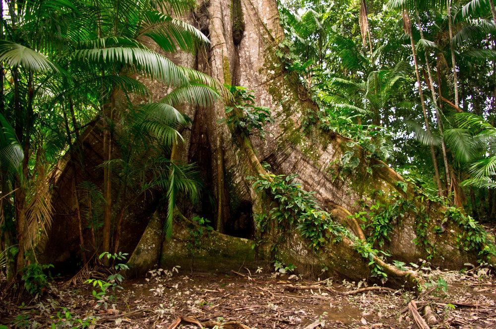 Amazon Tree.jpg
