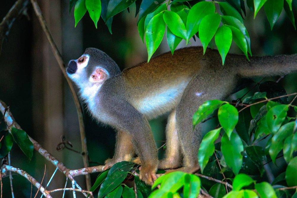 4_day_trip_to_La_Selva_Lodge_on_the_Napo_River_in_the_Amazon_jungle_of_E._Ecuador_-_squirrel_Monkeys_(Saimiri_sciureus)_-_(26261138223).jpg